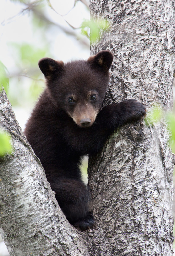 Black Bear Cub - Corkscrew Swawp Sanctuary - Corkscrew After Hours