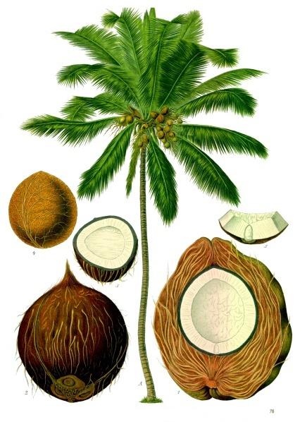 Coconut in Key Biscayne - The Ritz-Carlton Key Biscayne