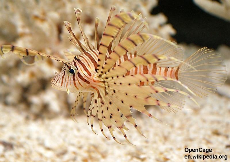 Invasive Species Flroida - Lionfish - Pterois Volitans - photo cred: OpenCage en.wikipedia.org