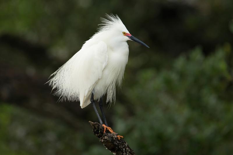 Snowy Egret - Rookery Bay birding