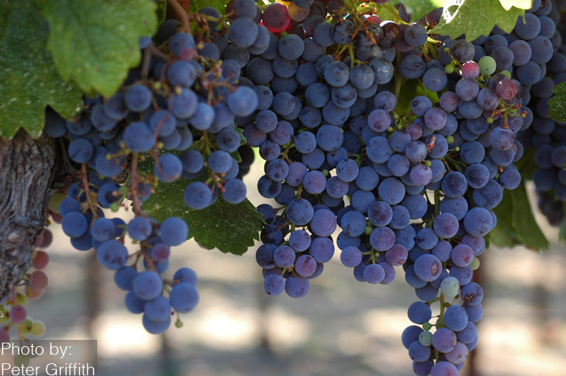 Sonoma County, California - bespoke and boutique wineries - Russian River - Sonoma County grapes