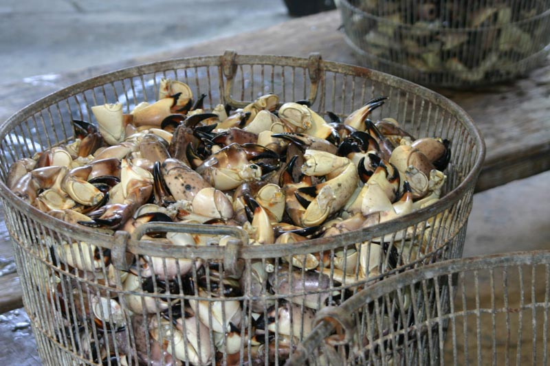 stone crab claws hauled from the Gulf
