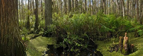 Big Cypress Swamp - Clyde Butcher Swamp Walk
