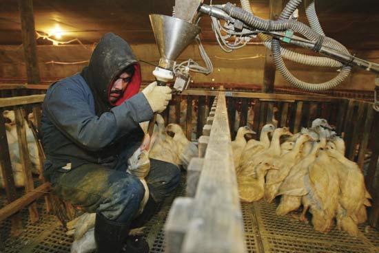 Fattening ducks for foie gras