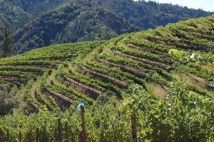 Hidden Ridge vineyard