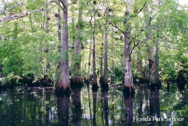 Cypress swamp - Collier-Seminole State Park