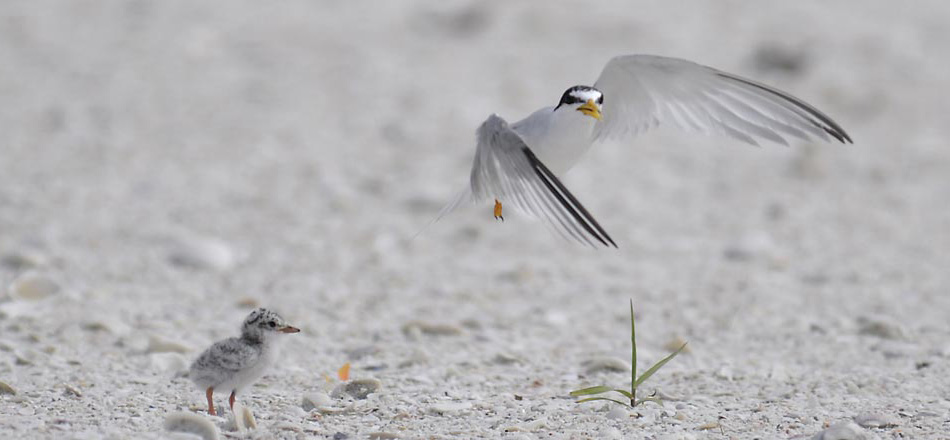 Rookery Bay - Naples - International Migratory Bird Day - Least Tern and chick