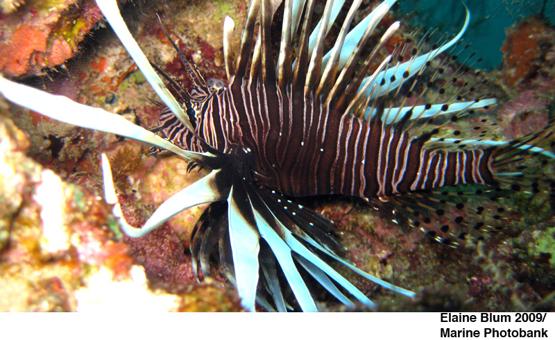 Lionfish - invasive species Florida - photo cred: Elaine Blum 2009/Marine Photobank