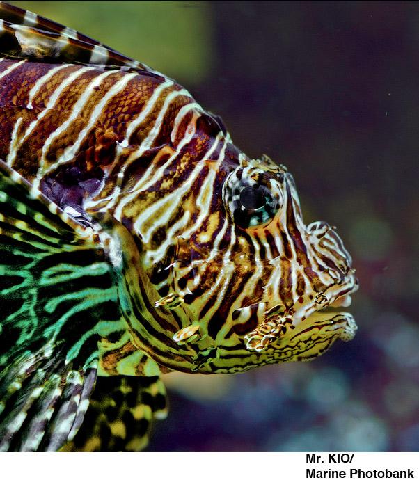 Lionfish - Florida Invasive Species - photo cred: Mr.KOI/Marine Photobank