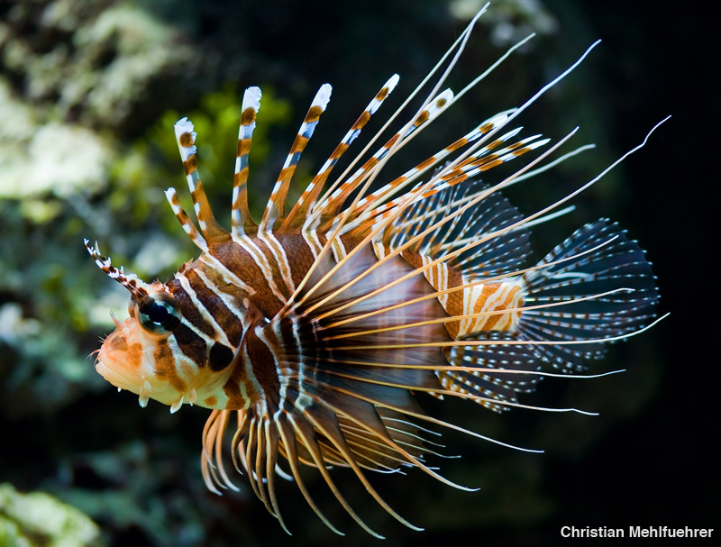 Red Lionfish - Florida Invasive Species - photo cred: Christian Mehlfuehrer