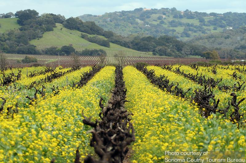 Mustard groing in Old Vine Zinfinadel Vineyard - Sonoma County - Paul Rubio