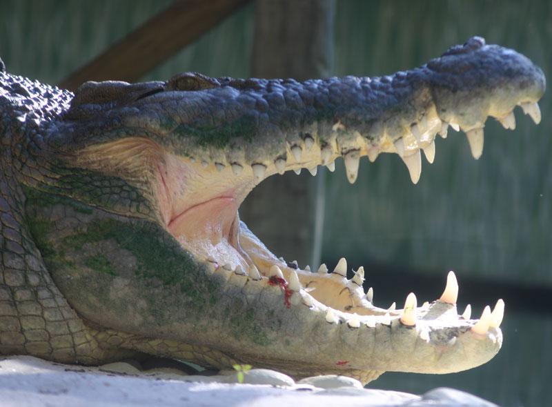 Crocodile at the St. Augustine Alligator Farm