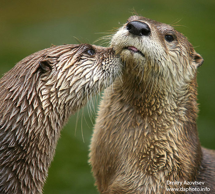 River Otters - Rookery Bay