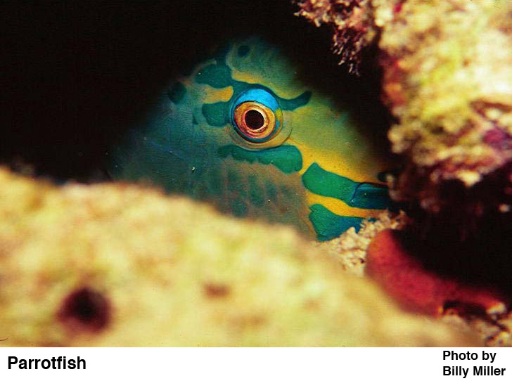 Parrotfish - Caribbean reef fish - photo cred: Billy Miller