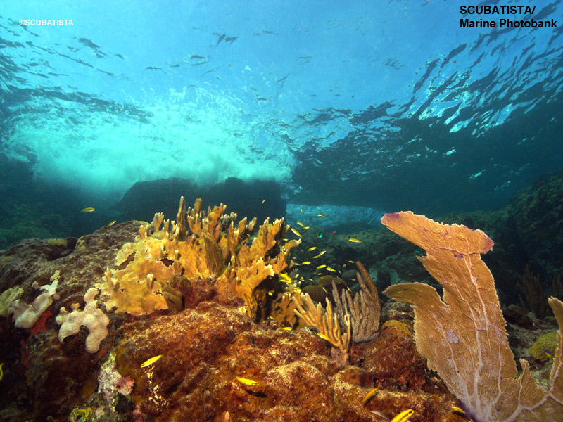Caribbean reef w sea fans, corals and sponges - photo cred: SCUBATISTA/Marine Photobank