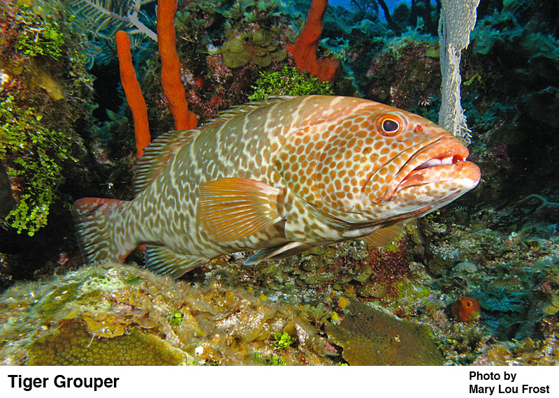 Tiger Grouper - Florida reef fish - photo cred: Mary Lou Frost