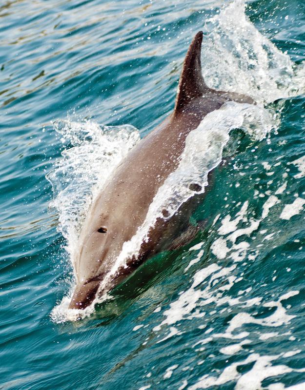 Dolphin---Eco-Florida