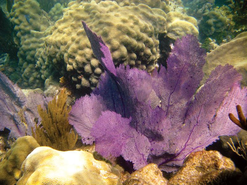 Purple-Sea-Fan