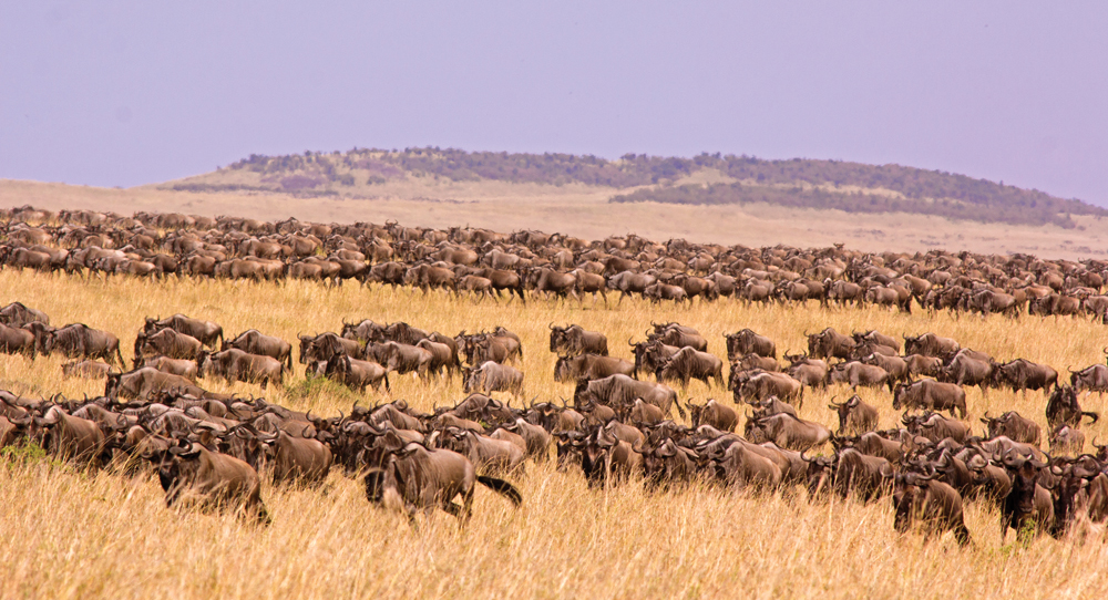 Vast herd of wildebeest on the march during the great migration - Masai Mara, Kenya