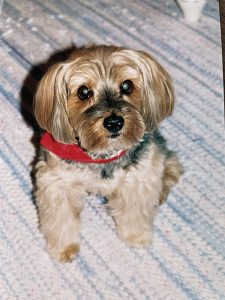 Cooper, the Kurtzes' second Yorkie, had a very distinct personality