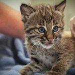 Conservancy of Southwest Florida baby Bobcat