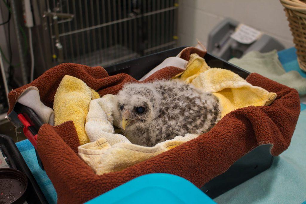 Conservancy of Southwest Florida baby Owl