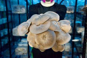 Stropharia-Mushroom-Farm