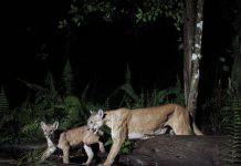 Florida Panther for Naples Illustrated, photography by Jay Staton3